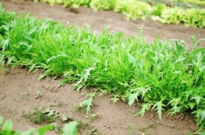 Экзотическая Мизуна и другие сорта японской капусты: полезные свойства и правила выращивания