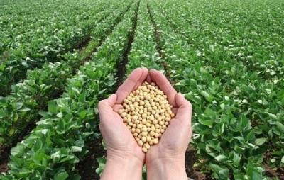 Очень вкусный и приносящий пользу продукт – нут. Как растет турецкий горох и правила получения богатого урожая