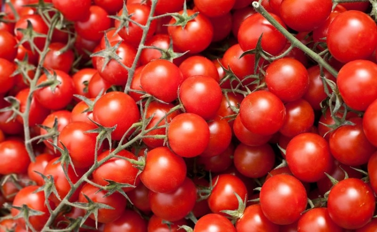 раннеспелые сорта томатов для теплиц подмосковья