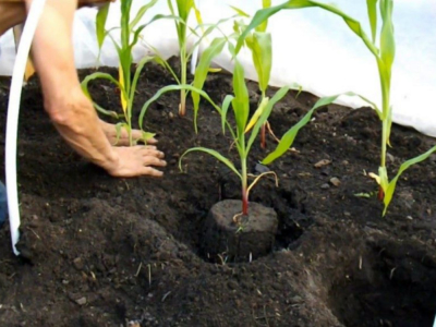 Кукуруза лучший сорт: посадка и уход