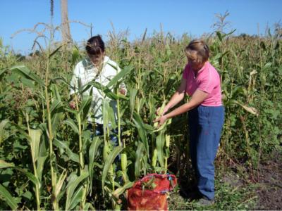 Кукуруза посадка и уход в открытом грунте в сибири