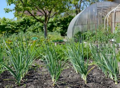 Хороший урожай лука при несложном уходе - сорт Бамбергер: описание, выращивание, правила сбора и хранения