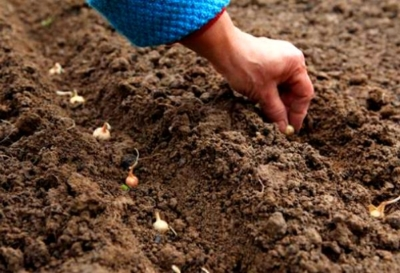 Характеристика, описание и правила выращивания репчатого лука сорта Глобо