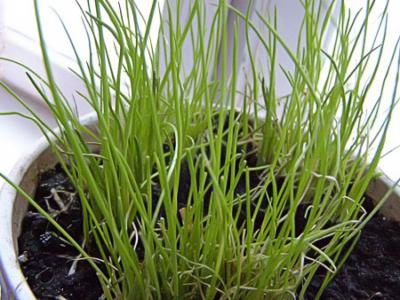 Как из семян вырастить лук на зелень дома и в теплице?