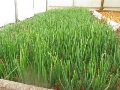 Особенности выращивания лука на перо в теплице зимой и в другое время. Как сажать семена и севок и как ухаживать?