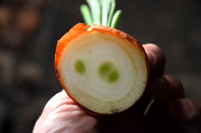 Неприхотливая культура с высокой пищевой ценностью — многозачатковый лук: характеристика, сорта