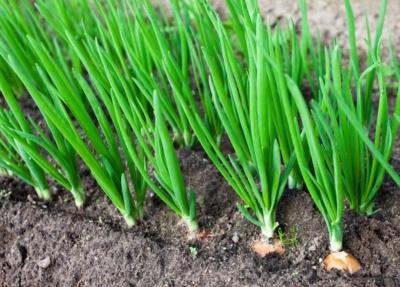 Белый, красный или обычный желтый лук: чем отличается по вкусу, пользе и принципам выращивания?
