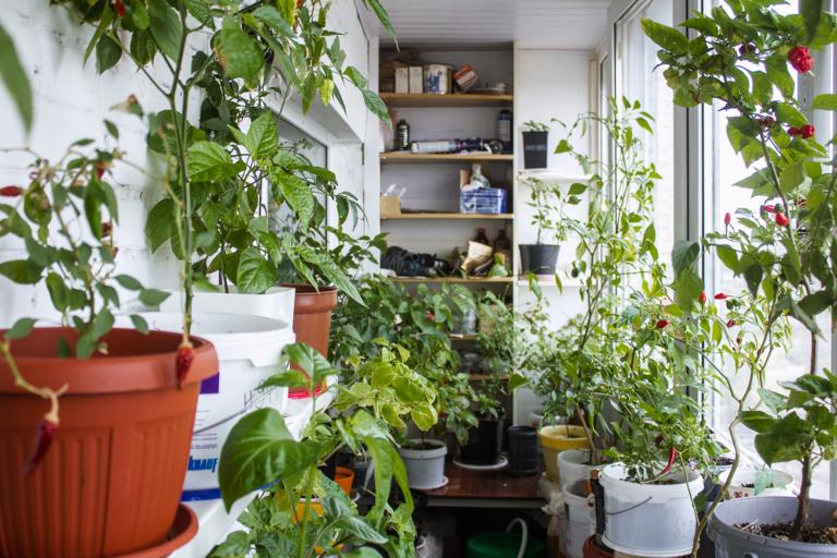 как посадить конопляные семена дома