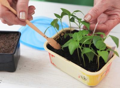 Секреты выращивания перца на вашем огороде и в теплице