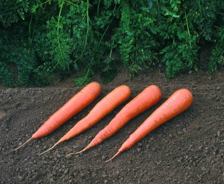 Уход за морковью после посева в открытую грядку