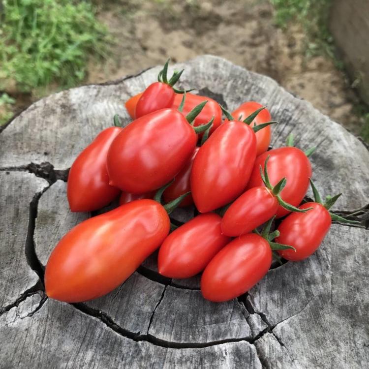 семена карликовых помидор
