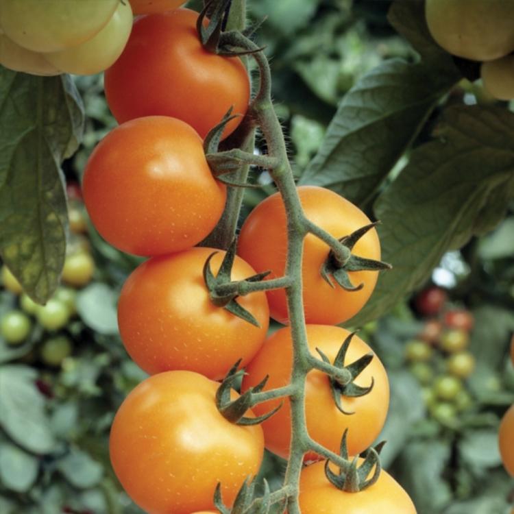 томаты для теплицы низкорослые сорта подмосковья