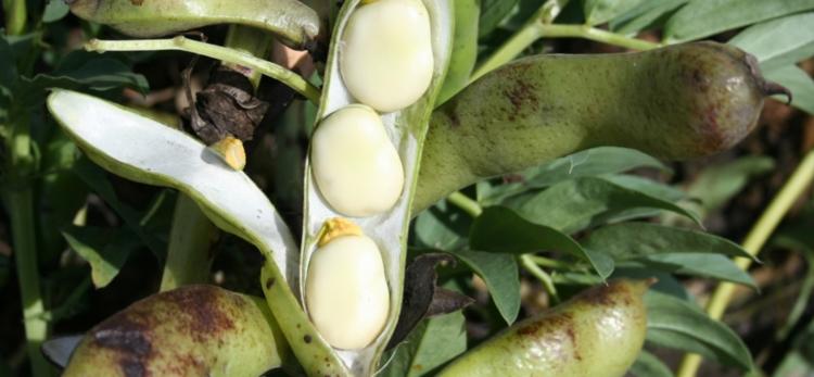 В чем разница между бобами и фасолью, что такое бобы с ботанической точки зрения, особенности плодов