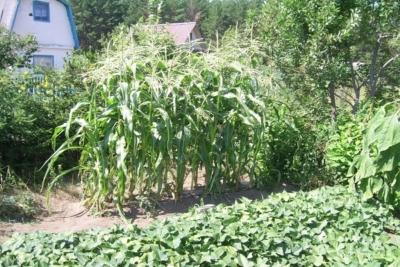 Возможна ли совместная посадка огурцов с кукурузой? Плюсы и минусы такого соседства