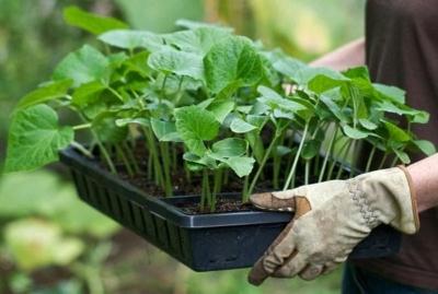 Как правильно сажать баклажаны в теплице и открытом грунте? После чего можно размещать?