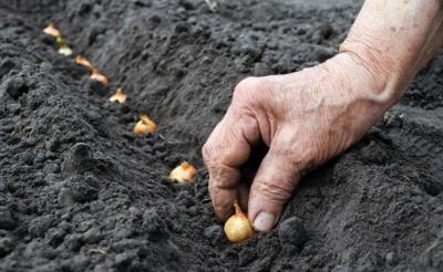 Ранний сорт лука Коррадо: описание и практические советы по выращиванию