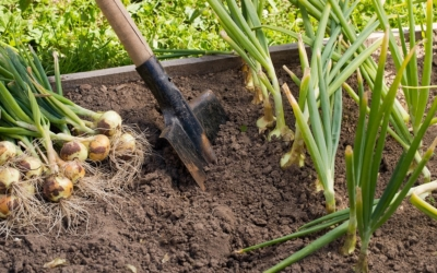 когда можно убирать урожай лука