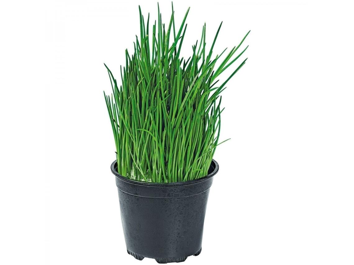 как посадить хмель семенами