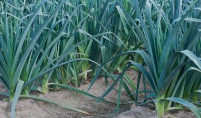 Нужна ли пикировка рассаде лука-порея, когда и как правильно ее проводить? Дальнейший уход